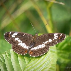 Ijsvogelvlinder open pose