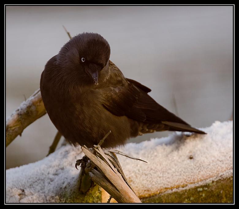 Kauwtje - Een kauwtje zittend, om van de laatste zonnestralen te genieten op een gevelde boom met rijp<br /> <br /> Iedereen bedankt voor zijn/haar
