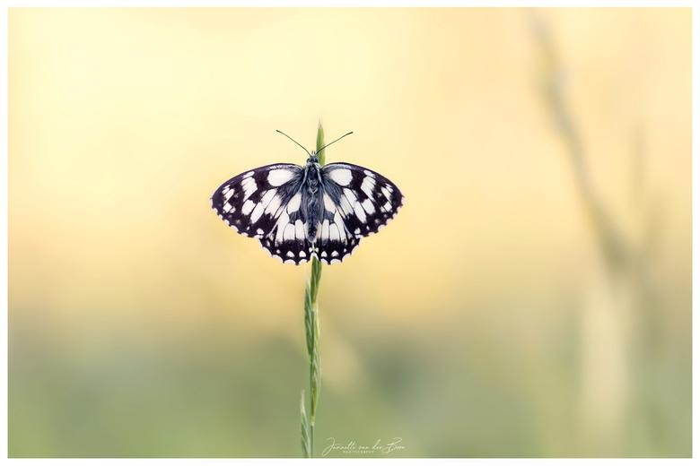 Dambordje - Een heerlijk weekend in België doorgebracht  tussen prachtige vlinders, genieten!