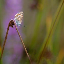 De vlinderstand