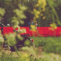 tulips..8