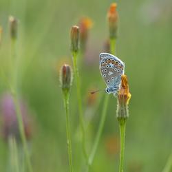 Blauwtje in het veld