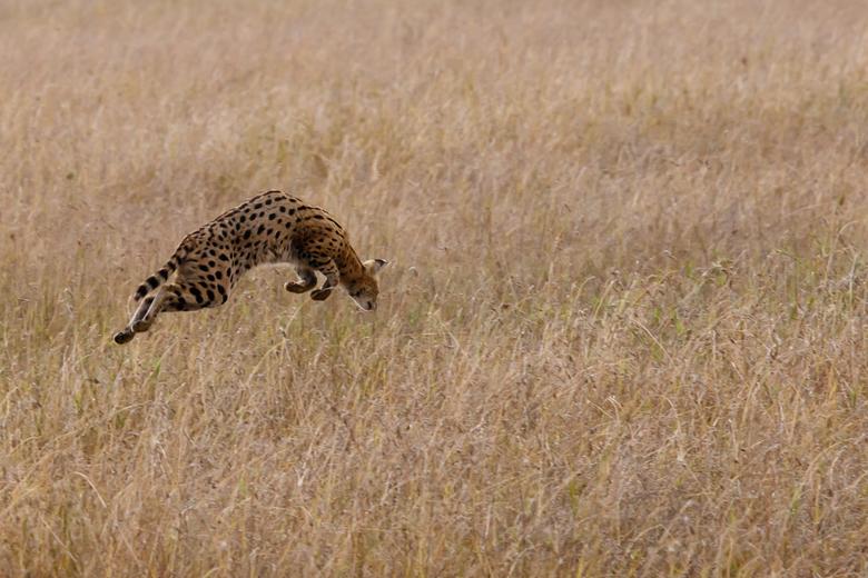 Jagende serval in Serengeti - Zo gaaf om te zien!<br /> De oortjes gingen geintresseerd omhoog en toen kwam deze sprong. Helaas voor de serval zonder