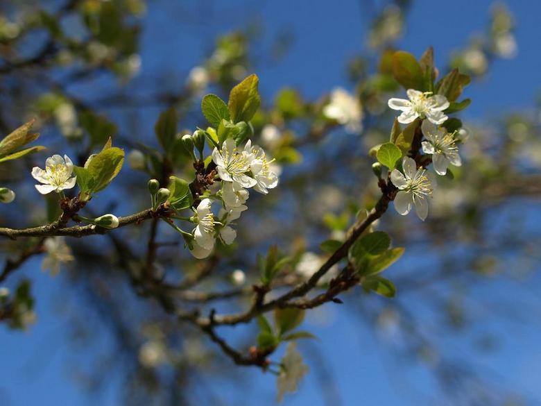 bloesem pruimenboom - Beetje laat dit jaar, maar dan toch eindelijk bloesems, en veel, eindelijk voorjaar!<br />