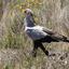 Secretaris vogel Zuid-Afrika