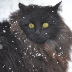 Noorse boskat in de sneeuw