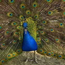 Vogel serie 207. Pauw.