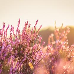 Heide met tegenlicht