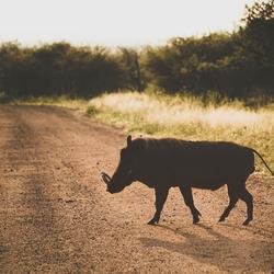 Zwijntje in Zuid-Afrika