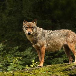 Wolf (Beierse Woud)
