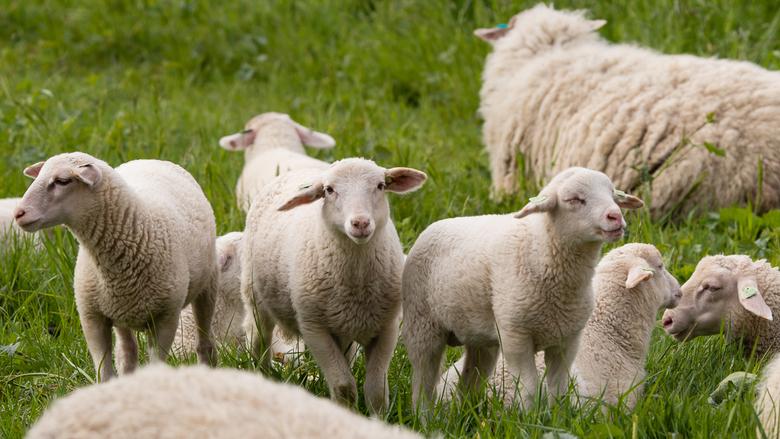 drie op een rij - Omdat ik ze zo leuk vind nog een paar foto's van de natuurlijke grasmaaiers. Deze drie keken even om zich heen welke kant ze op