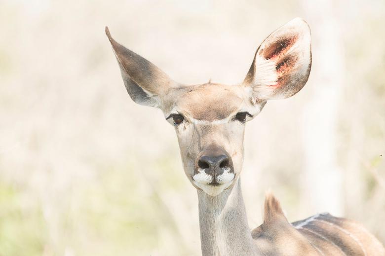 Koedoe - Kudu of koedoe vrouwtje. High key.