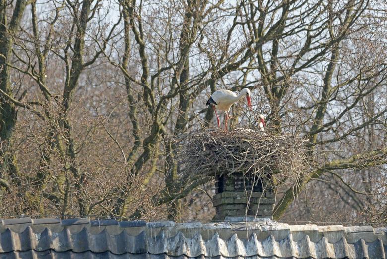 de grote verbouwing - Liefdevol bouwt hij aan het nest. Dit jaar wat meer werk omdat de paal met het wiel is verwijderd. Maar ook de schoorsteen van e