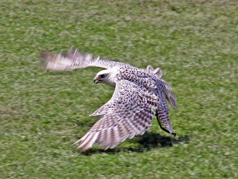 Prachtige giervalk in vlucht - De giervalk (Falco rusticolus) is een vogel uit de familie van valken (Falconidae). Een volwassen examplaar is circa 55