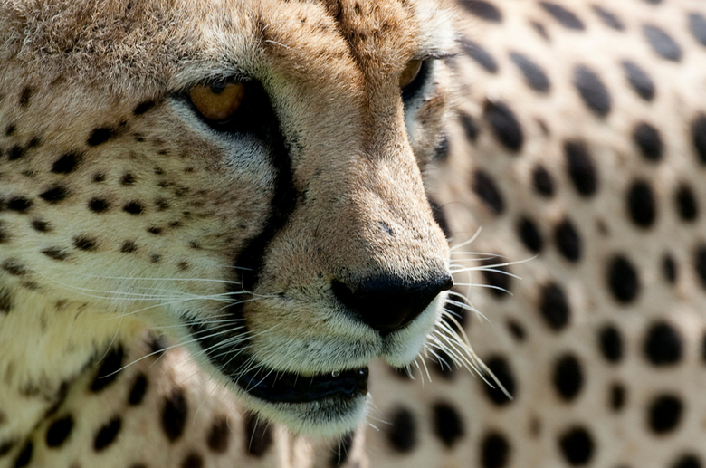 """Cheetah op jacht Samburu NP ( Kenia ) - Deze opname is uit de serie """" Een dag met de Cheetah """"."""