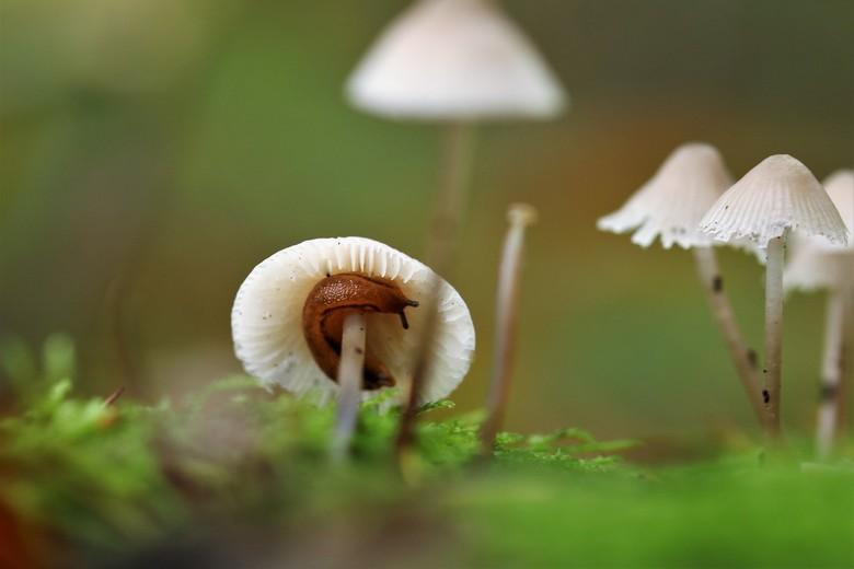 onder moeders paraplu - dit slakje schuilt voor de regen onder dit kleine paddenstoeltje de natuur heeft voor alles een oplossing<br /> 21-10-2019