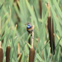 Blauwborst in De Groote Peel