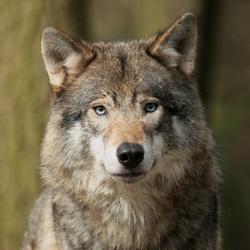 potret van een wolf