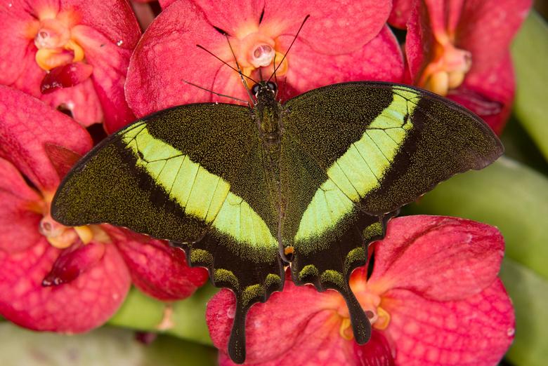 Papilio palinurus - Deze Papilio palinurus zat zich heerlijk te goed te doen aan de orchidee. Het is wel een heel kleurrijke foto geworden vond ik zel