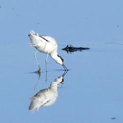 Kluut en zijn spiegelbeeld eten onderweg