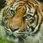 de dag van de tijger..................