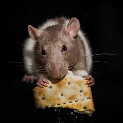 Een Portret van een Rat.