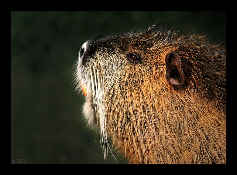Als je van dit beestje hou(t...) - Een bever in dierenpark Amersfoort. <br /> <br /> Wist je dat een bever doorzichtige oogleden had, waardoor hij o
