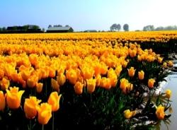 Tulpen met natte voeten