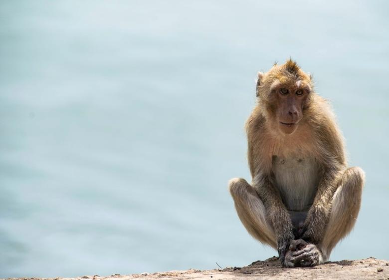 Monkey in Thailand - Het verbaasde mij dat wij zo weinig apen in het noorden van Thailand zijn tegengekomen. Toen we eenmaal erachter kwamen dat de do