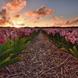 Hyacinten op Texel