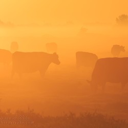 Cows in the mist