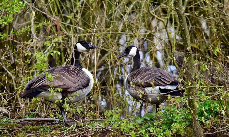 lekker plekje.. - Lekker plekje voor een nestje moeten deze Canadese ganzen gedacht hebben. Op veel plekken zitten de grauwe ganzen al een tijdje op e