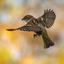 vliegende mus