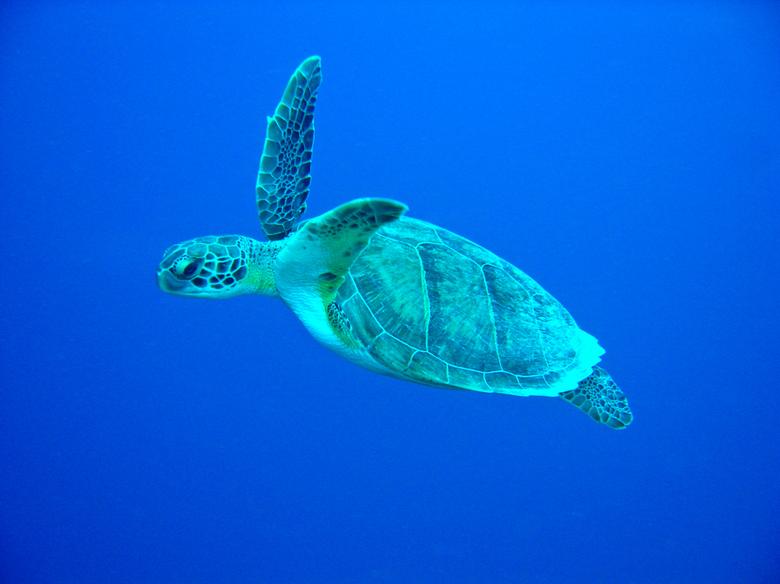 En snel dat die is..... - Dit prachtige dier werd door mij waargenomen op 25 meter afstand en 10 meter dieper dan ikzelf was, tijdens een duiktocht op