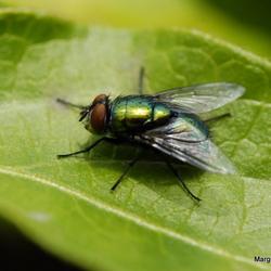 Groene vlieg op blad
