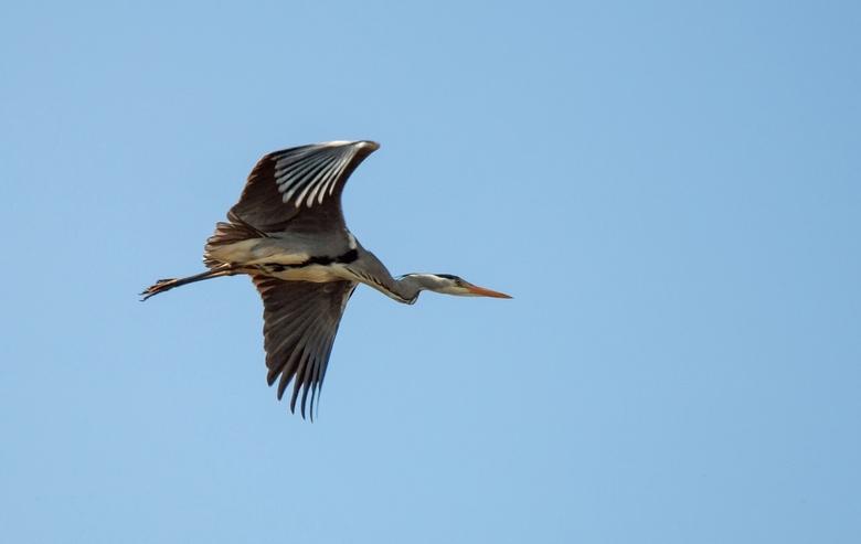 Reiger in vlucht (2) - Een reiger in vlucht, in de blauwe lucht<br /> Hij vloog op en was weg met een zucht<br /> <br /> 1 van de foto&#039;s uit d