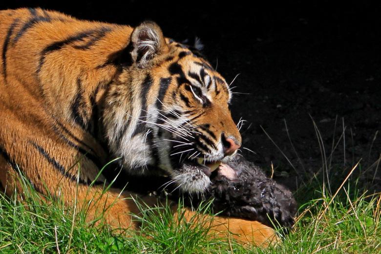tijger eet konijn - Tijger trekt op zijn gemakje een konijntje uit elkaar