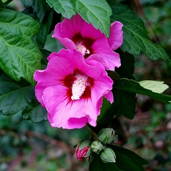 Hibiscus Paars-rood.