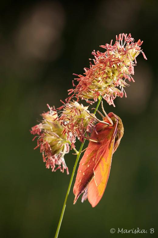 in de zon - Nog een foto van het avondrood vlindertje. Deze keer in het zonnetje, een paar minuten later dan de vorige foto.