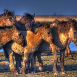 Konikpaarden in de winter