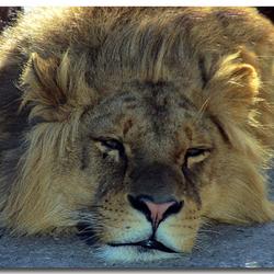 Leeuwenportret uit Dierenrijk