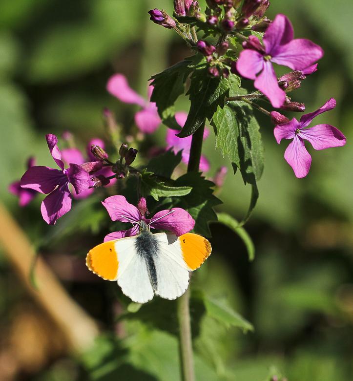 Vlinder van Oranje  - Het oranjetipje liet zich vandaag voor het eerst zien bij ons in de tuin, toeval?