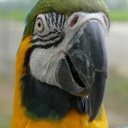 Blauw-gele Ara Pino tijdens papegaaienwandeling Barneveld, Zo. 7-5-2017.