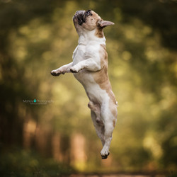 Flying Frenchie