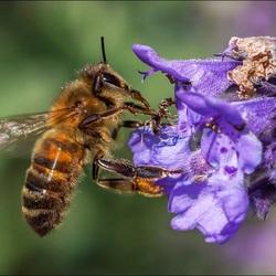 Honingbij en Mier.