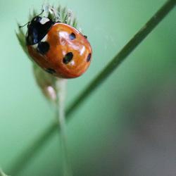 lieveheersbeestje closeup
