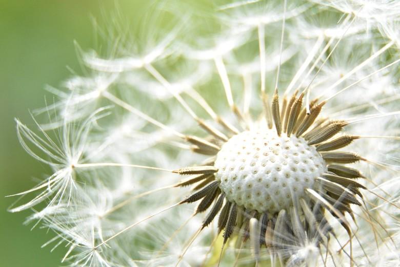Zijdezacht - Ik heb al veel van deze bloemen gefotografeerd, maar het was me nog nooit opgevallen dat er onder de zaadjes zo'n zacht kussentje sc