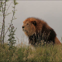 Wildlands Leeuw