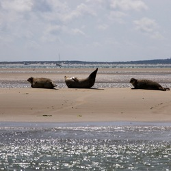 Zeehonden voor de kust van Vlieland