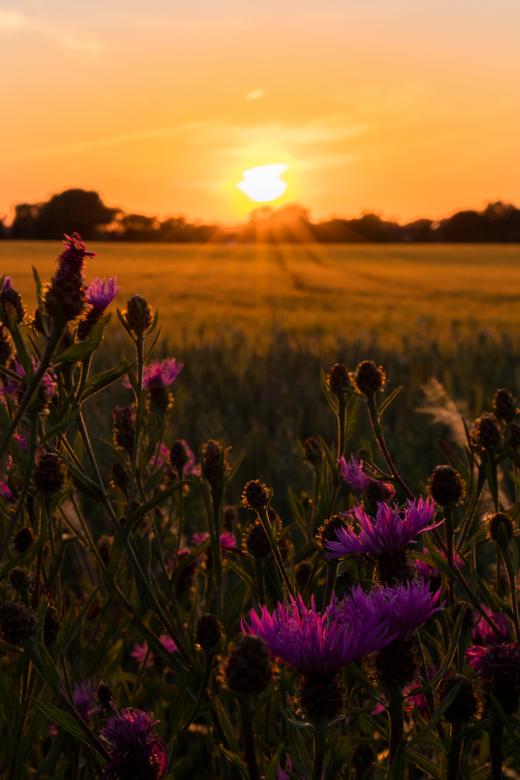 Zonsondergang in het Limburgse Heuvelland - Deze foto is genomen in de buurt van Margraten, Zuid-Limburg. Met in de hoofdrol de paarse distels.